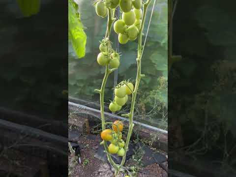 Начало августа 2020 года. Наливаются плоды томатов. Обзор сортов томатов в моей первой теплице.