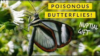 Clearwing Butterfly's Gift of POISON