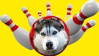 ХАСКИ ИГРАЕТ В БОУЛИНГ | ТАЙНЫЙ ПОДВАЛ (Хаски Бандит) Говорящая собака