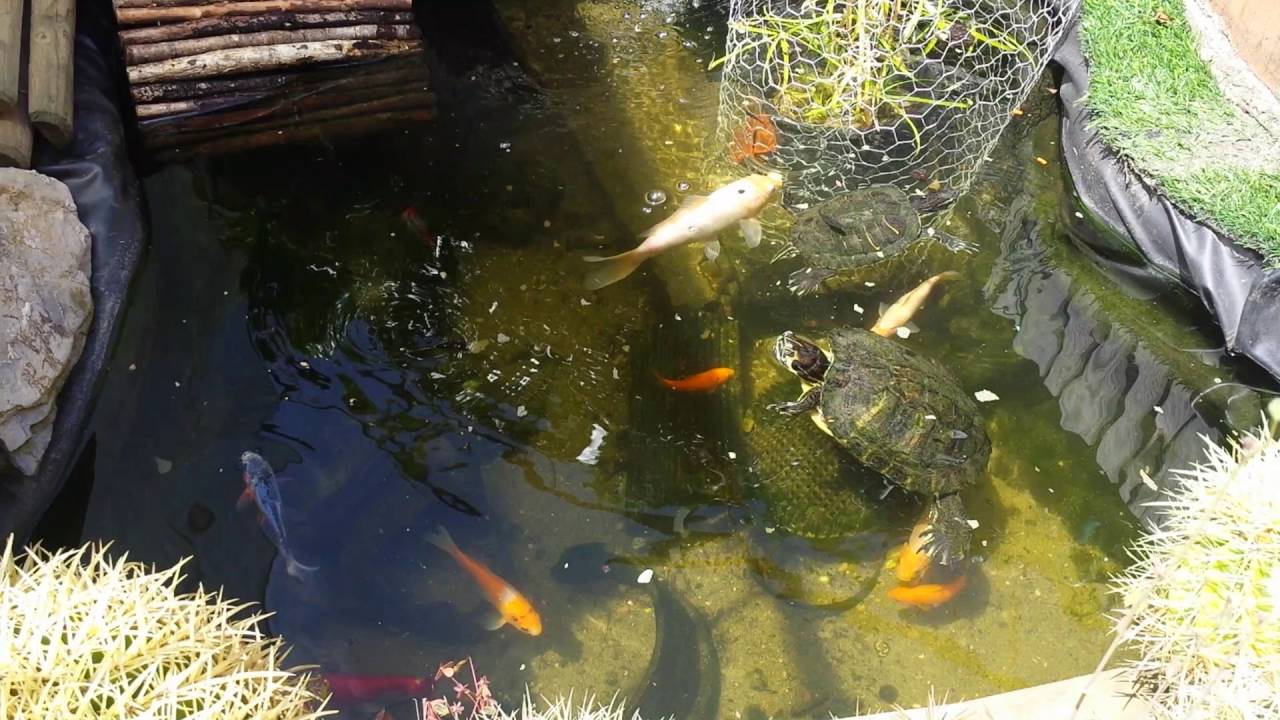 laghetto pesci rossi tartarughe e gambusie 3 anni dopo