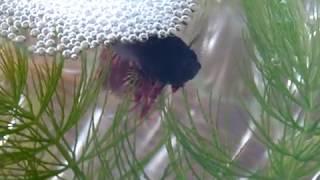 Гнездо из пены  рыбка Петушок