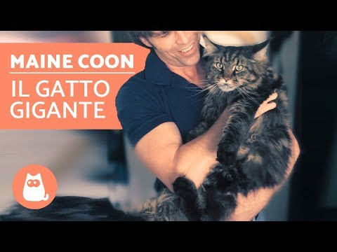 Gatto MAINE COON: video documentario – Il gatto GIGANTE