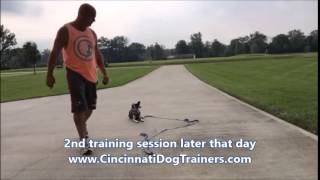 Boston Terrier Blue Tick Heeler Progress Video At Cincinnati Dog Trainers Off Leash K9