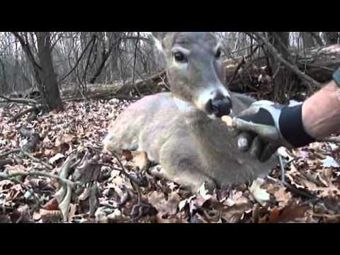 wild deer walk up