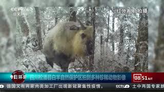 [今日环球]四川松潘县白羊自然保护区拍到多种珍稀动物影像| CCTV中文国际