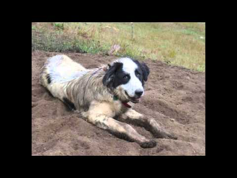 Great Pyrenees Livestock Guardian Dogs with GPS Collars and No Fences