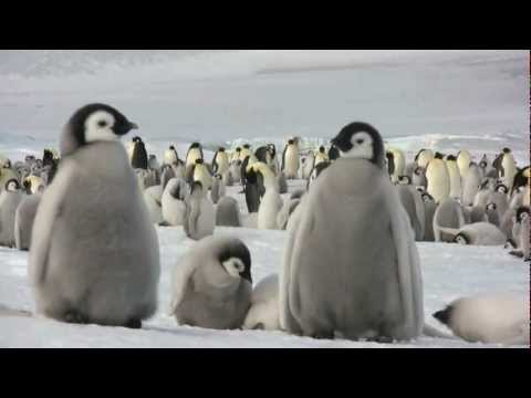 Emperor penguins at Snow Hill Island