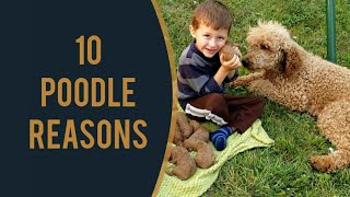 10 Reasons for the Poodle Breed ...plus: Fancy's Litter has Arrived! (red curly standard poodles)