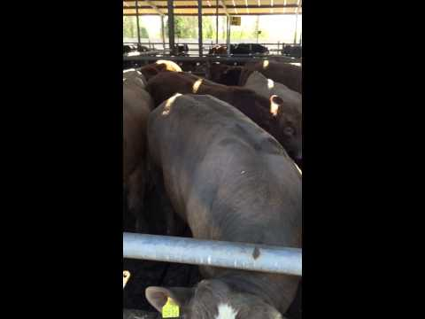 Young Bulls at Kepak feedlot