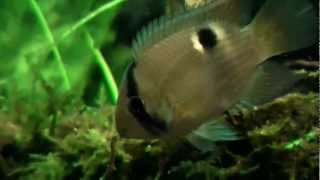 830 litres amazon biotope angelfish planted tank update