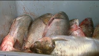 Asian Carp Processing Plant in Kentucky