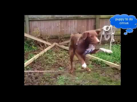 Puppies learn to circus
