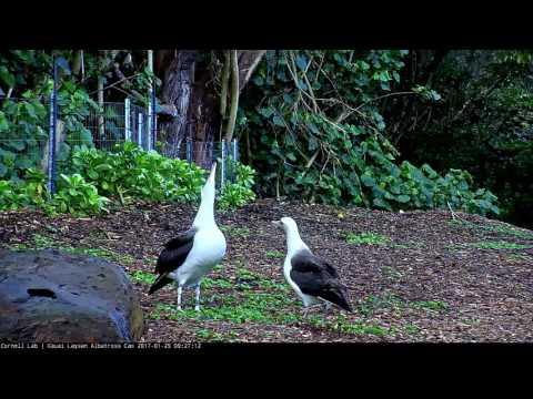 K747 and an Unbanded Adult Dancing — Cornell Lab | Kauai Laysan Albatross Cam