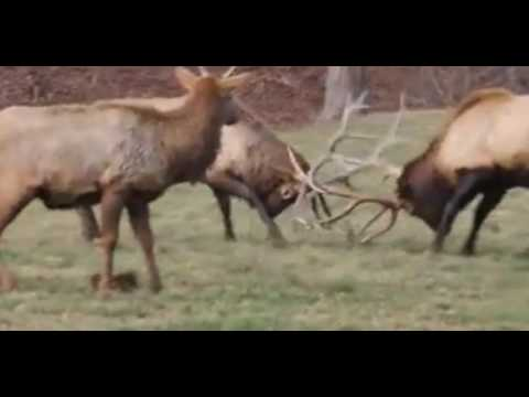 Buck And Bull Fights At KG Deer Ranch 2