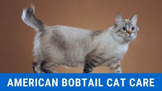 How to Care for an American Bobtail Cat updated 2021
