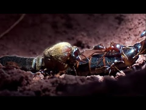 Queen Ant Mating Season | Ant Attack | BBC Earth