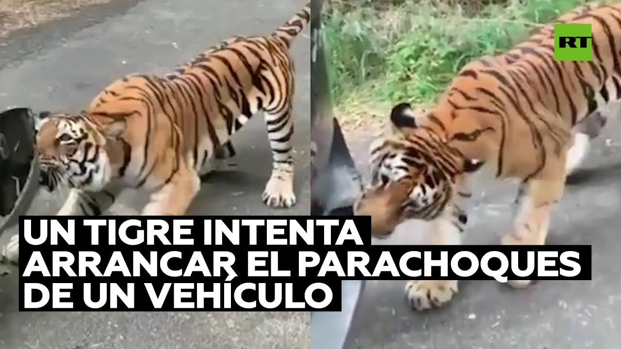 Download Un tigre intenta arrancar el parachoques de un vehículo en un parque en la India