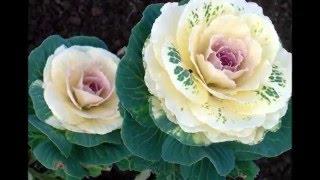 Красивые клумбы в саду из декоративной капусты