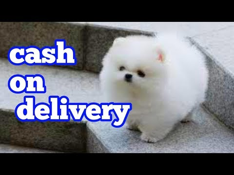 Toy Pomeranian  Puppy For Sale