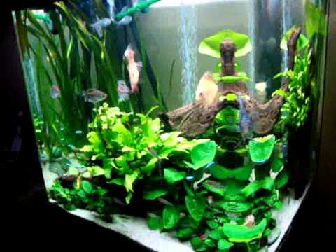 Bonito acuario de peces disco youtube for Peces de acuario