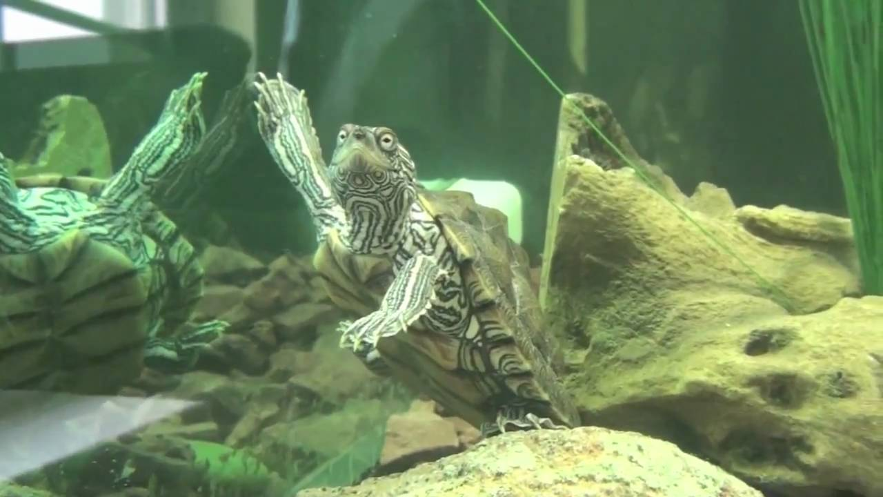 Texas Map Turtle Texas Map Turtle Update   YouTube