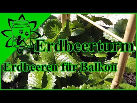 Erdbeeren Auf Dem Balkon Im Topf Anbauen | Erdbeerturm | Klettererdbeeren | Garteneinkochfee