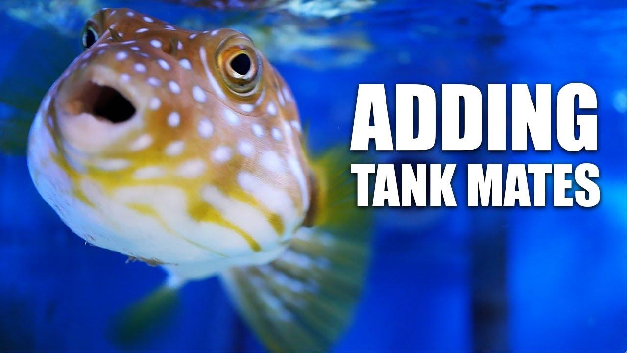 My puffer fish gets aquarium friends!