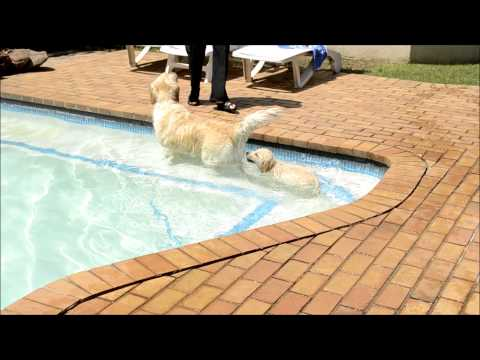 GOLDEN RETRIEVER PUPPY-  LEXI -  'This is how you swim'