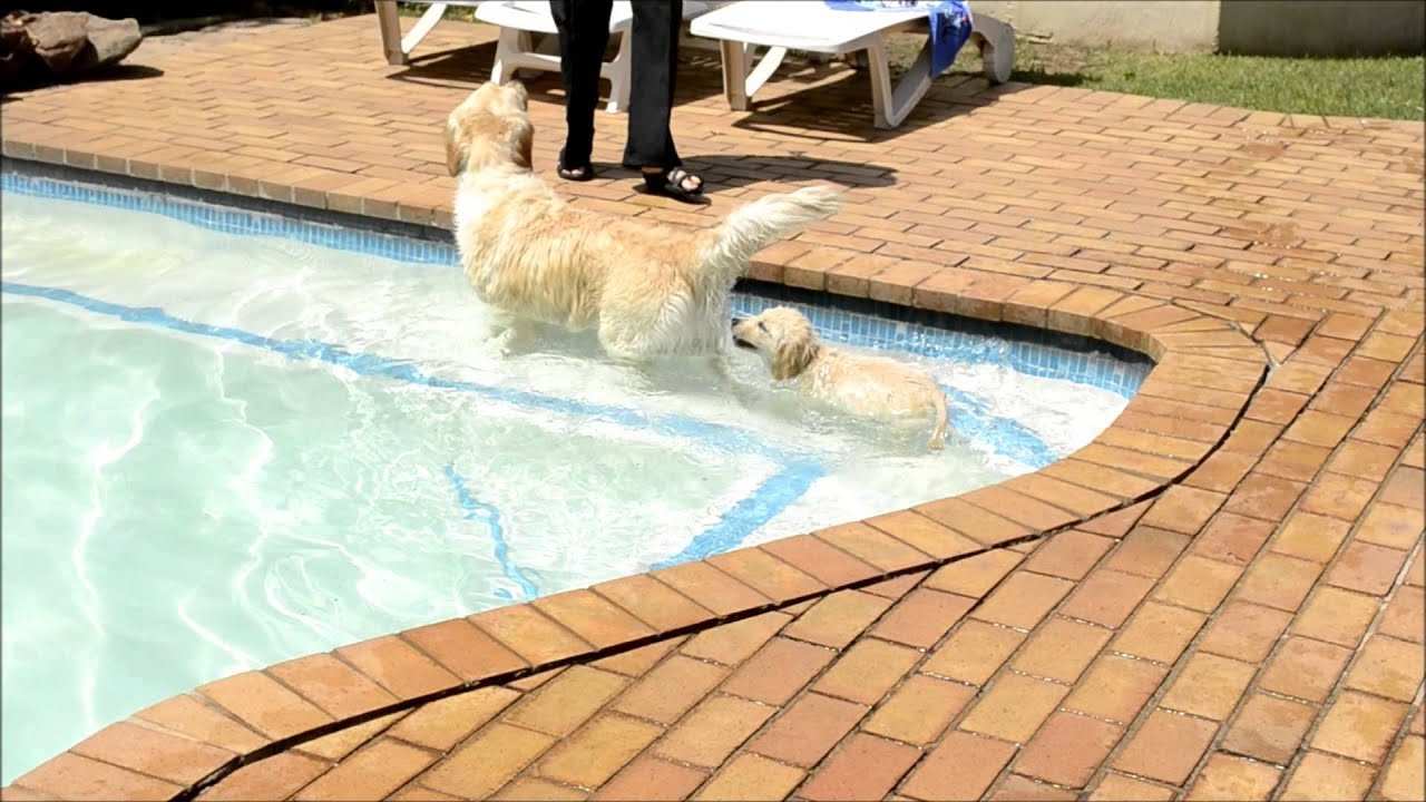 """GOLDEN RETRIEVER PUPPY- LEXI - """"This is how you swim"""" - YouTube Golden Retriever And Baby"""
