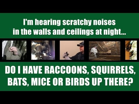 Wildlife Sounds in Walls and Attic - What Kind of Wildlife Do I Have Up  There?