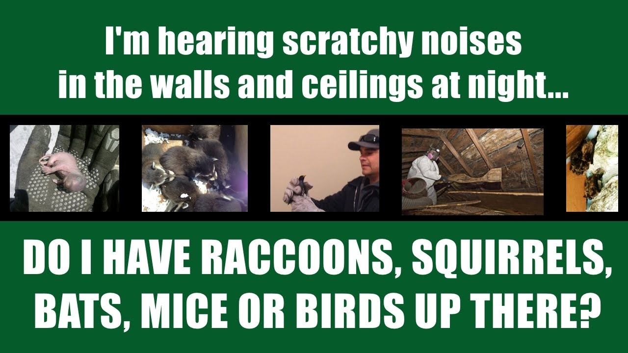 Wildlife Sounds In Walls And Attic What Kind Of Wildlife