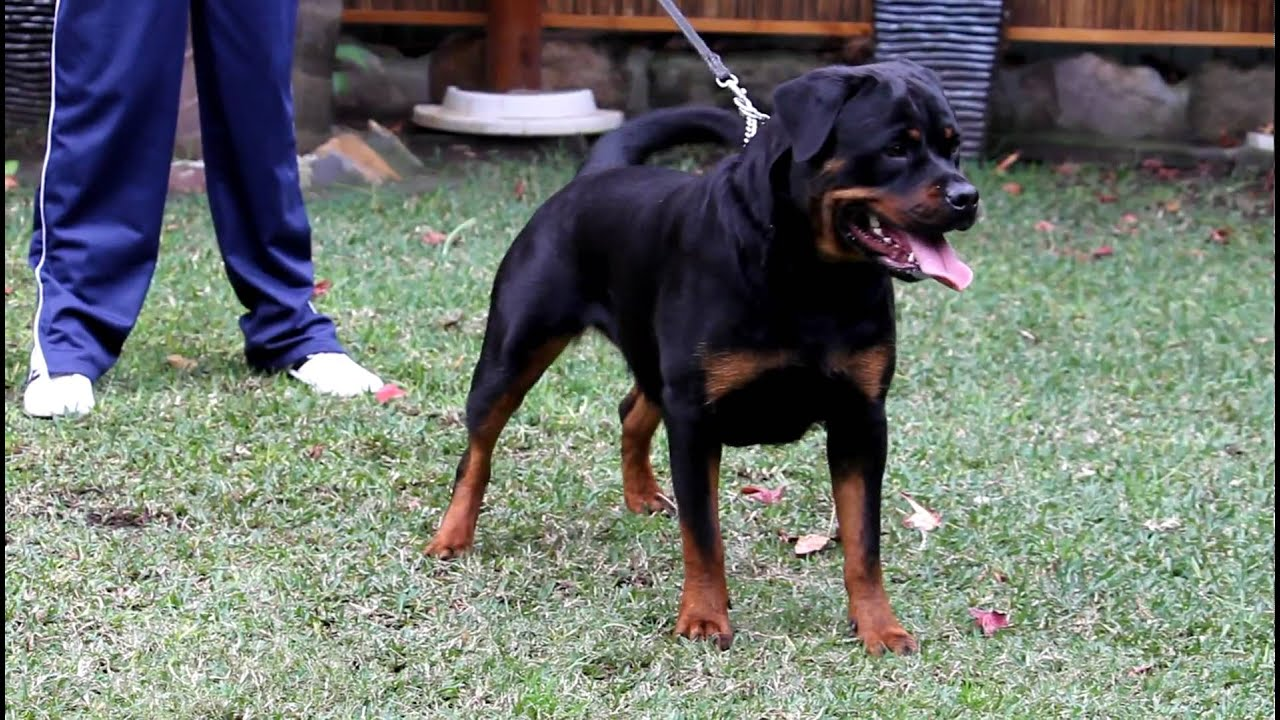 Size of 3 month old rottweiler