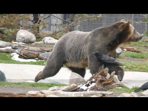 Grizzly and Wolf Discovery Centre - West Yellowstone - 05/2017