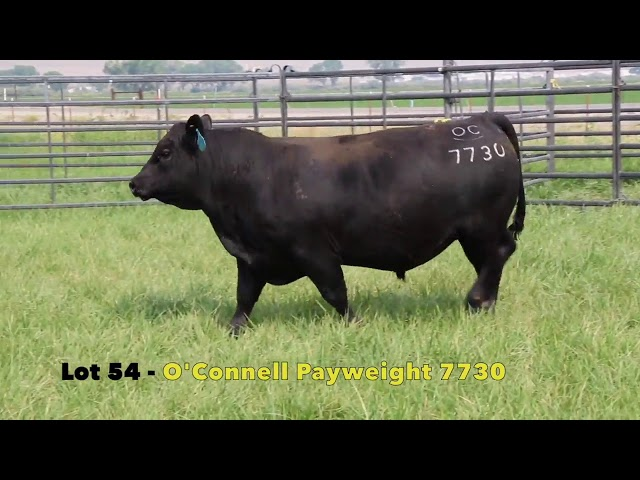 Black Gold Bull Sale Lot 54
