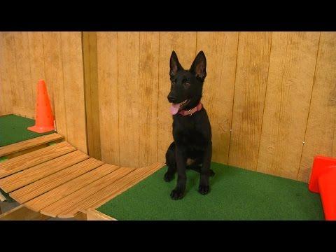 "amazing-black-german-shepherd-female-""zandra""-17-wks-obedience-protection-trained-for-sale"