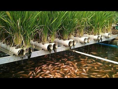 How To Plant Aquaponic Rice .by Bengkelmimpi16.(cara Menanam Padi Aquaponik)