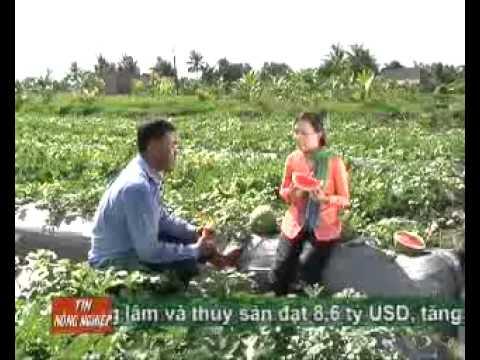 Mo hinh trong dua hau khong hat    Kythuatnuoitrong.com