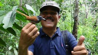 memulut burung tali pocong dan burung takur disungai kecil dalam hutan
