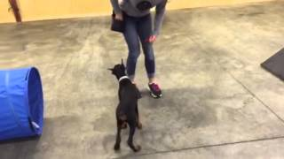 "Early Agility Training ""quentin"" 13 Wk Doberman Male Puppy For Sale"