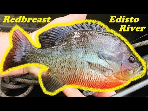 Edisto River Redbreast