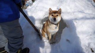 柴犬タロウと家族の日記。 2月。冬の思い出。 Shiba inu.