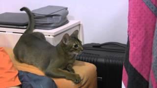 Абиссинские кошки. Питомник WildAby