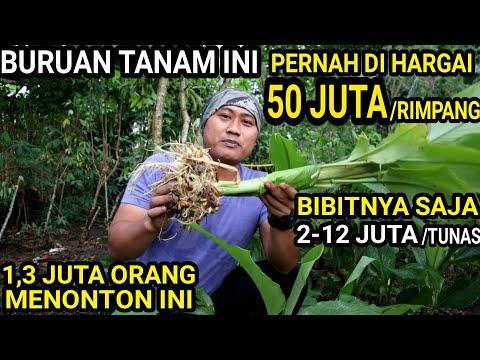 50Juta/Rimpang Tidak Bisa Membayangkan Kalau Bisa Panen Satu Hektar Pasti Panen Duit