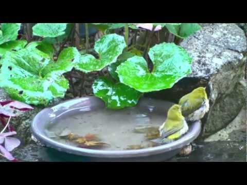 メジロの水浴び (2)/Bathing of White-eye (2)