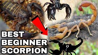 The Best Beginner Scorpion Species | Pet Scorpions