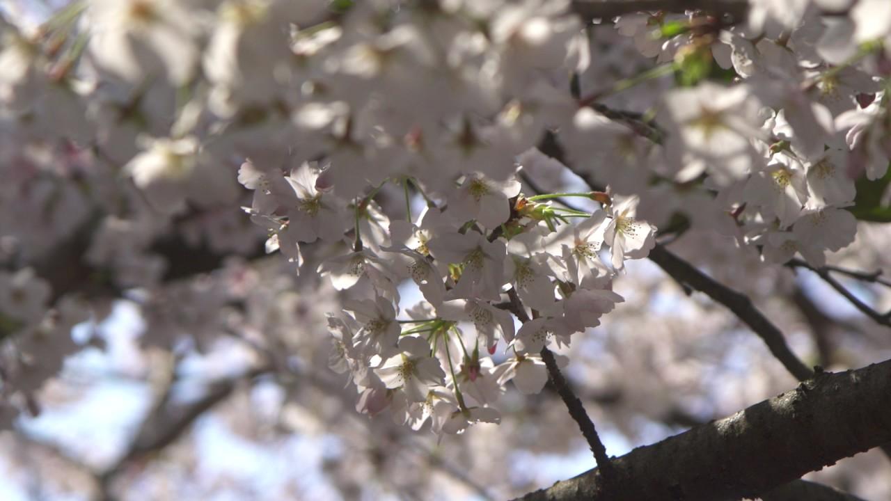 Футаж | Белые лепестки качающегося дерева