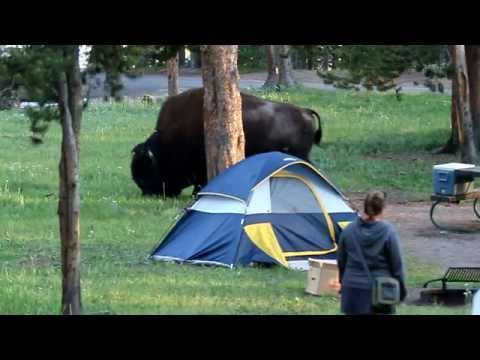 Bison au camping de Norris (Yellowstone)