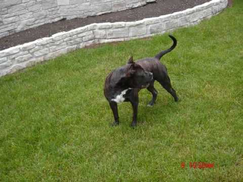 American Pit Bull Terrier Mix