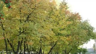 十日の菊 石川さゆり/Relaxing Music