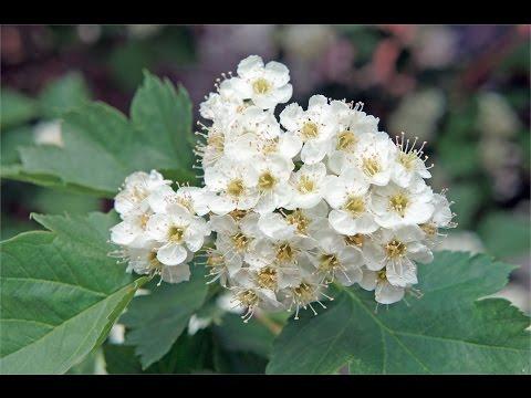Цветы боярышника. Лечебные свойства цветов боярышника